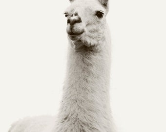 White on White Llama Photograph in Black and White, Vintage Style Animal Photography