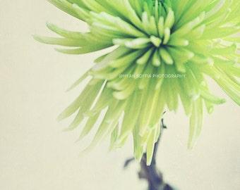spring decor, flower print, spider mum photograph, green wall art, still life, nature, flower petals, bathroom wall art, chrysanthemum art