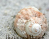Shell photographic print - Murex shell 5x7 nature photo - color or black and white