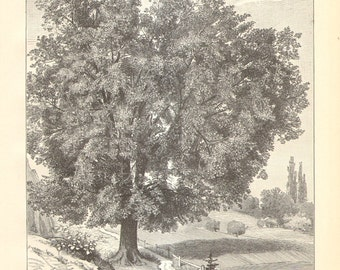 1906 Character Sketch of the Field Elm Original Antique Engraving to Frame