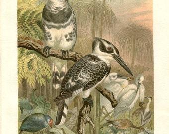 Vintage Bird Print Pied Kingfisher Antique Color Lithograph, , Graufischer