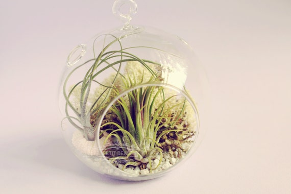 Shipwrecked // Air Plants in Glass Globe Hanging Terrarium Wedding Favor Decor Gift DIY Minimalist table centerpiece Floating tillandsia