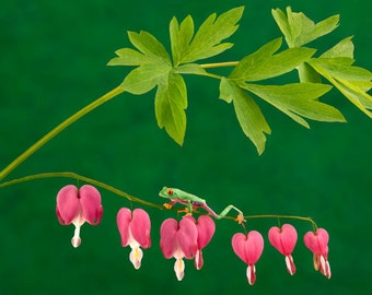 Bleeding Heart Flowers and Frog, Flower Art, Heart Art