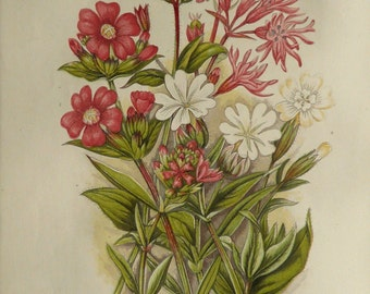 1889 Antique print of FLOWERS: Ragged Robin, White Catchfly, Red Alpine Catchfly. 127 years old nice lithograph.