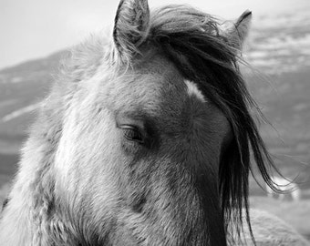 Black and white horse photo, fine art photography print, buckskin, animal photography, various sizes