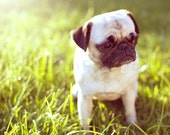 Pug Photography - Dog Print - Sunset Photography - 8x10 8x8 10x10 11x14 12x12 20x20 16x20 - Pug Photo