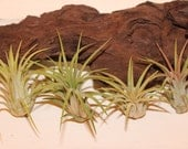 FREE SHIPPING - Set of 5 Ionantha Air Plants