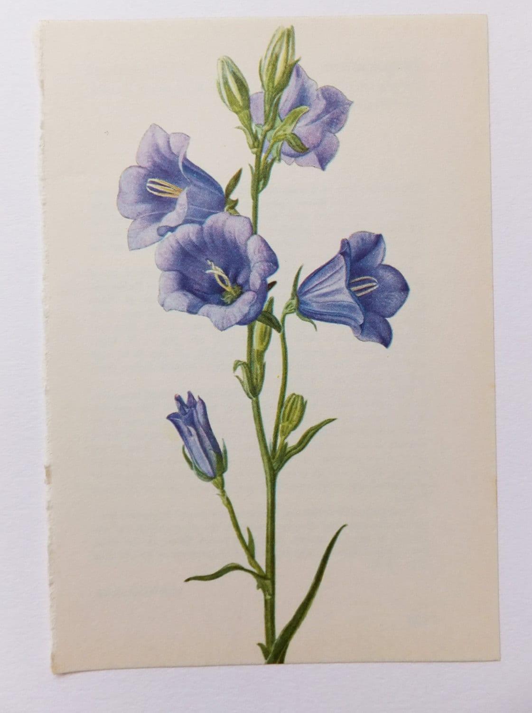 bellflower vintage flower picture botanical print blue. Black Bedroom Furniture Sets. Home Design Ideas