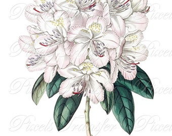 RHODODENDRON Instant Download, Digital Download Large Image Transfer pink flowers Wedding Clipart 252