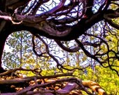 Landscape Photography, Tree Photograph, Brown Green Fine Art, Manzanita, Photo Wall Art, Nature Print by Paula DiLeo