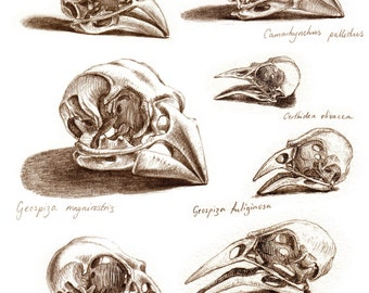 Skulls of Darwin's Finches, signed, limited edition giclee print from the the bestselling book 'The Unfeathered Bird' by Katrina van Grouw