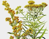 Seaside Goldenrod Flower 1950s Vintage Botanical Lithograph Art Print To Frame 208