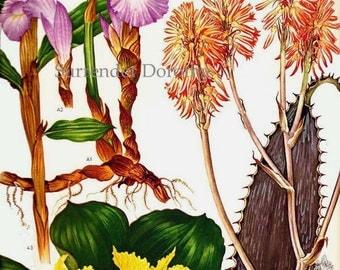 Flowering Ginger Zingiberaceae Flower Tropical and Central Africa Botanical Exotica 1969 Large Vintage Illustration To Frame 68