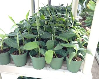 Goldfinger Dwarf Banana Plant Tree, RARE - FHIA-01 Desert Banana