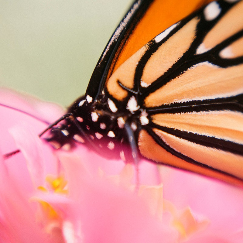 Kansas Monarch Macro Pink Flower 8x8 Photo