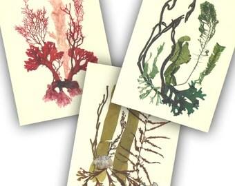 Seaweed art, MADE TO ORDER,Pressed seaweed, 3 collage seaweed pressings, botanicals, Botanical seaweed, beach cottage, nautical decor, 5X7