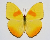 "Real Phoebis philea ""Orange-barred Sulphur"" Butterfly, spread for your project or laminated or unmounted"