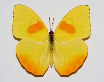 """Real Phoebis philea """"Orange-barred Sulphur"""" Butterfly, spread for your project or laminated or unmounted"""