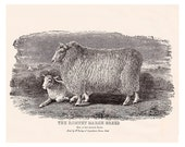 Antique Sheep Print of the Romney Marsh Breed, vintage printable digital image no. 702