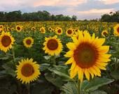 Sunflower Field Summer in Maryland Photograph
