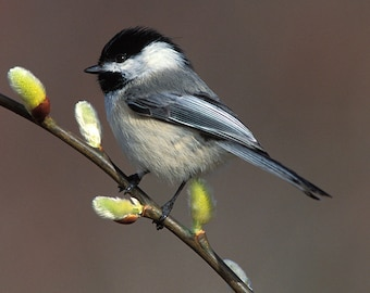 Chickadee, Black Capped and Pussy Willow,8x10 Unmatted Bird Photograph, Wildlife Nature Photo, Wild Animal Wall Art, Spring