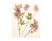 Botanical Print, Pressed Flower Print, Pink Flower Photography, Filipendula, Floral Wall Decor, Floral Art Print