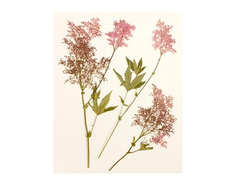 8 x 10 Botanical Print, Pressed Flower Print, Pink Flower Photography, Filipendula, Floral Wall Decor, Floral Art Print