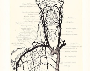 1899 Human Anatomy Print - Circulation Carotid Arteries - Vintage Antique Medical Anatomy Art Illustration for Doctor Hospital Office