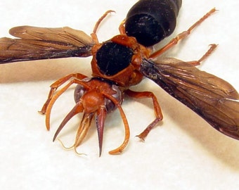 Real African Female Synagris Cornuta Tusked Wasp 8179F