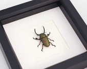 Green Framed Stag Beetle Insect Display Lamprima adolphinae