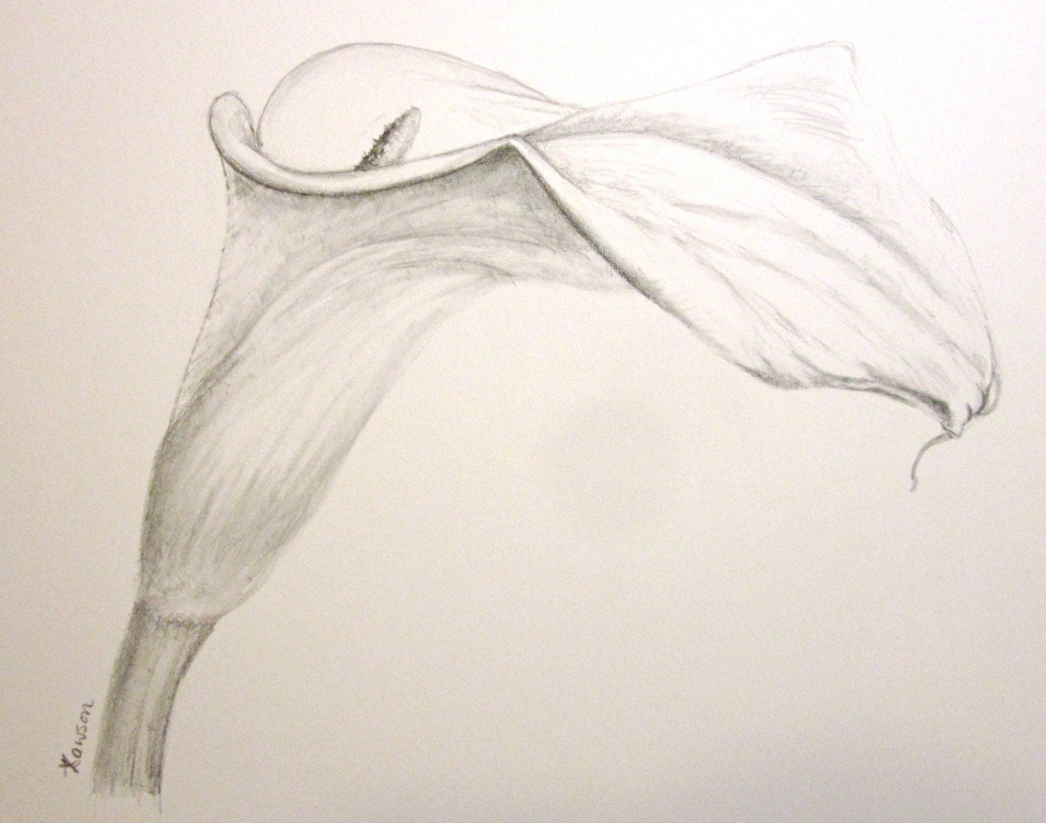 Tiger Lily Drawings In Pencil Lily flower drawingLily Flower Drawings In Pencil
