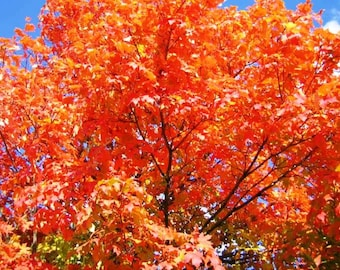 18-24 inches Rooted SUGAR MAPLE SAPLING - Well Established Root System, Red Fall Foliage, Deer resistant