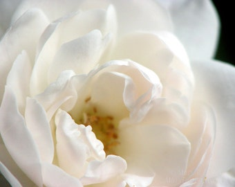 Dreamy White Flower Photo 'Sea Foam' Rose Petals nature fine art floral photography romantic cottage chic home decor 7x5 10x8 14x11