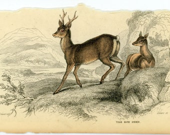 1845 roe deer original antique hand coloured engraving animal print