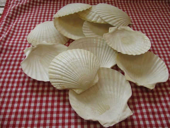 Vintage scallop shells four 5 shells for crafts - Scallop shells for crafts ...