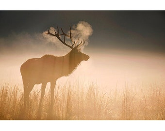 Bull Elk at Sunrise, Nature Photography, Fine Art Photographic Print, Wildlife, Cataloochee Valley, Great Smoky Mountains, Golden, Large