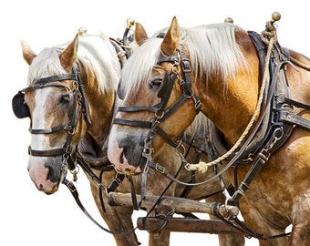 Team of Heavy Work Horses against a White Background No.1402Wh - A Fine Art Domestic Animal Photograph