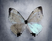 Forgotten Words - butterfly photography, pastel blue, icy blue butterfly art nature lover gift, square photo, nature photography, slate blue