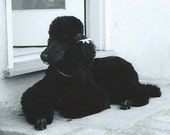 Vintage Photograph Photo Snapshot Pure Bred Black Standard Poodle Bow Laying Outside