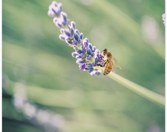 Nature Photography, Still Life Photo, flowers, lavender, honey bee, fine art print