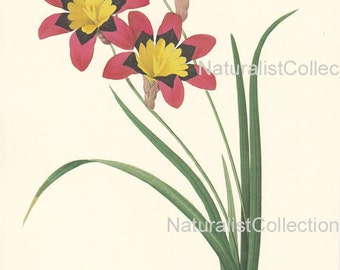 BOTANICAL PRINT 1981 Redoute Art Print 63 red yellow Ixia african corn lily Flower Plant Beautiful Large bookpage to frame garden home decor