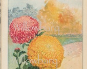 Chrysanthemum. 1926 country cottage garden old fashioned botanical color lithograph print