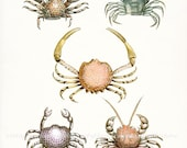 Five Antique French Crabs Natural History Coastal Decor Giclee Art Print 8x10