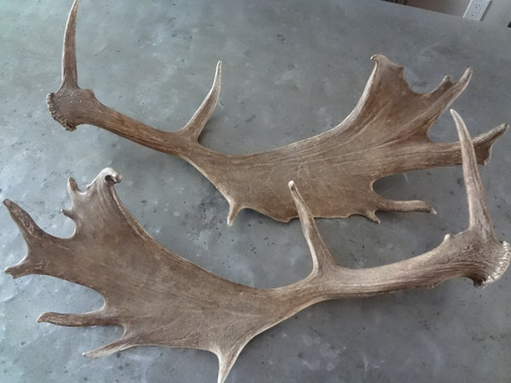 Beautiful set of Fallow Deer Antlers