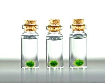 3 Miniature Marimo Moss Ball Bottles, Marimo Ball Vials, Miniature Aquariums, Miniature Terrariums, Miniature Bottles, Stocking Stuffers