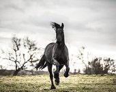 Friesian horse photography. Black horse print wall art. Running horse photo. Black stallion art print. Horse home decor. French countryside