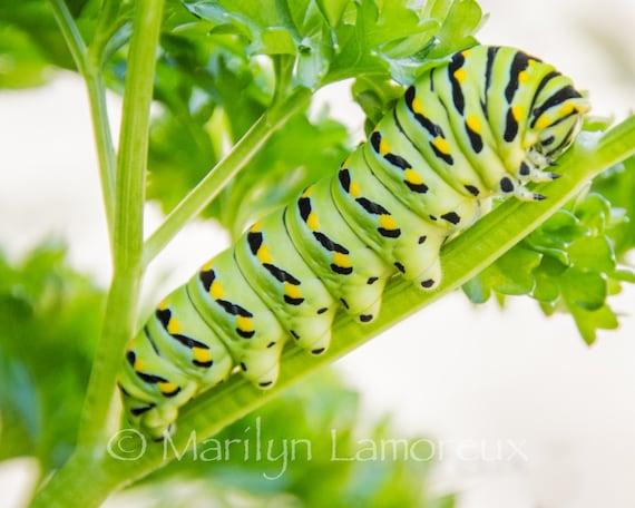 Green Caterpillar Nature Photography - Fine Art Photography - Green & Black Swallowtail Caterpillar - Nature Wall Art Pictures
