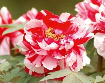 Heirloom 30 Seeds Paeonia Suffruticosa Shurb Tree Peony Mixed Colors Garden Flower Shrubs Bulk T001