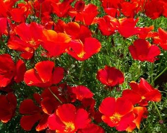 Heirloom 1000 Seeds California Poppy Eschscholzia Californica Mission Bells Garden Flower Seeds B0092