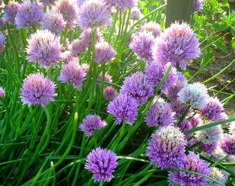 Chives Plant, Live Herb Plant, Chives in 4 Inch Pot Great for Container Gardens Easy to Grow Herb Plant Great Hostess Gift